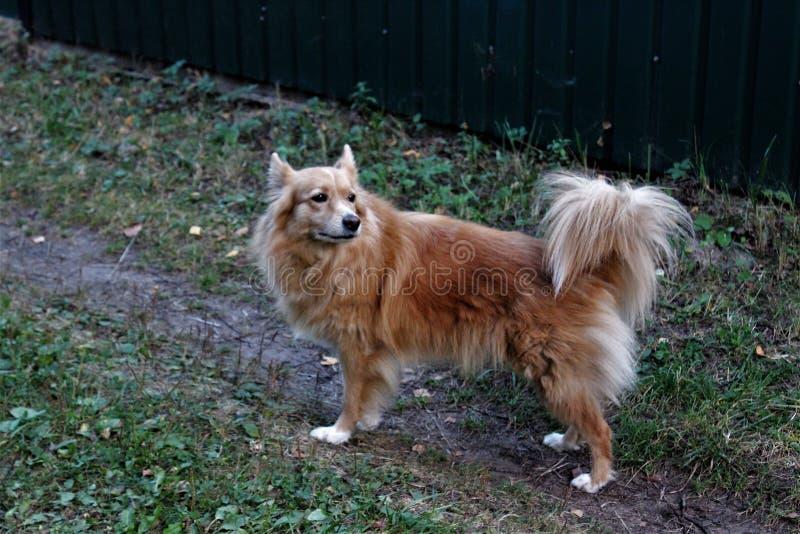 Małej pięknej rudzielec domowy pies fotografia royalty free