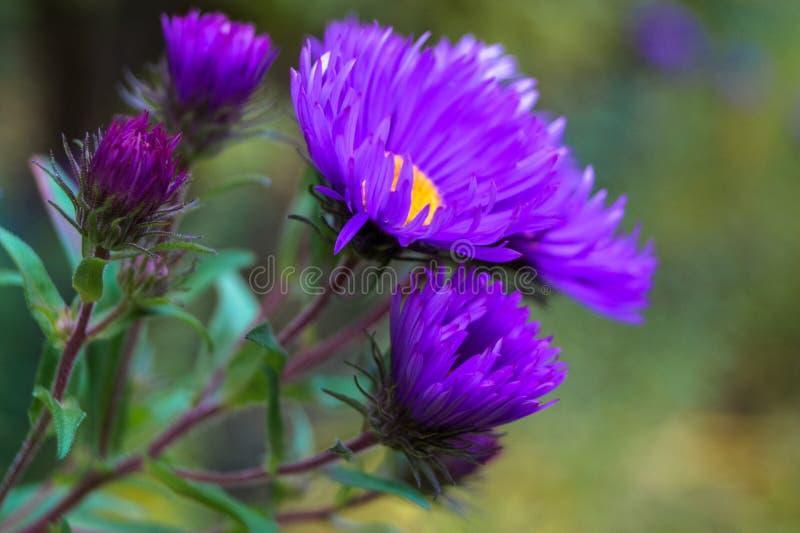 Małej puszystej purpurowej chryzantema kwiatu jesieni makro- fotografia obraz royalty free