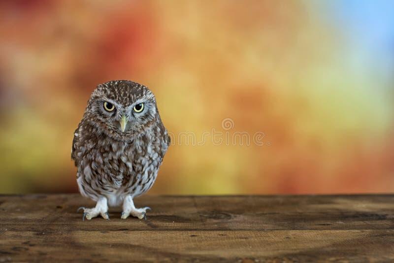 Małej sowy Athene noctua na kolorowym tle Z kopii przestrzenią zdjęcie royalty free