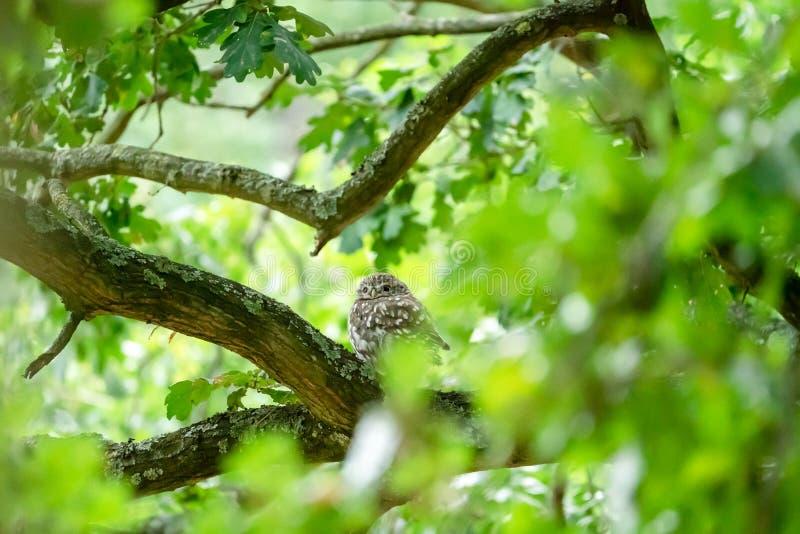 Małej sowy Athene noctua w drzewie obraz royalty free