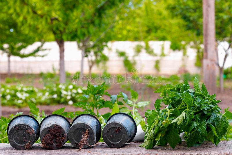 Małej zieleni flancy pomidorowa roślina na garnku przed zasadzać fotografia stock