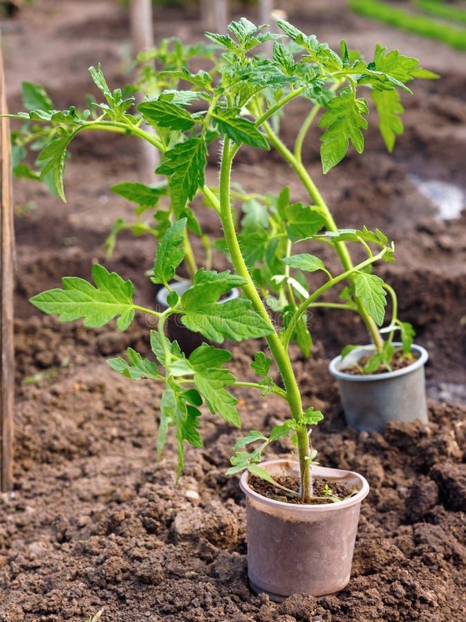 Małej zieleni flancy pomidorowa roślina na garnku przed zasadzać zdjęcie stock