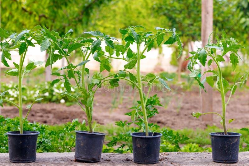 Małej zieleni flancy pomidorowa roślina na garnku przed zasadzać zdjęcia stock