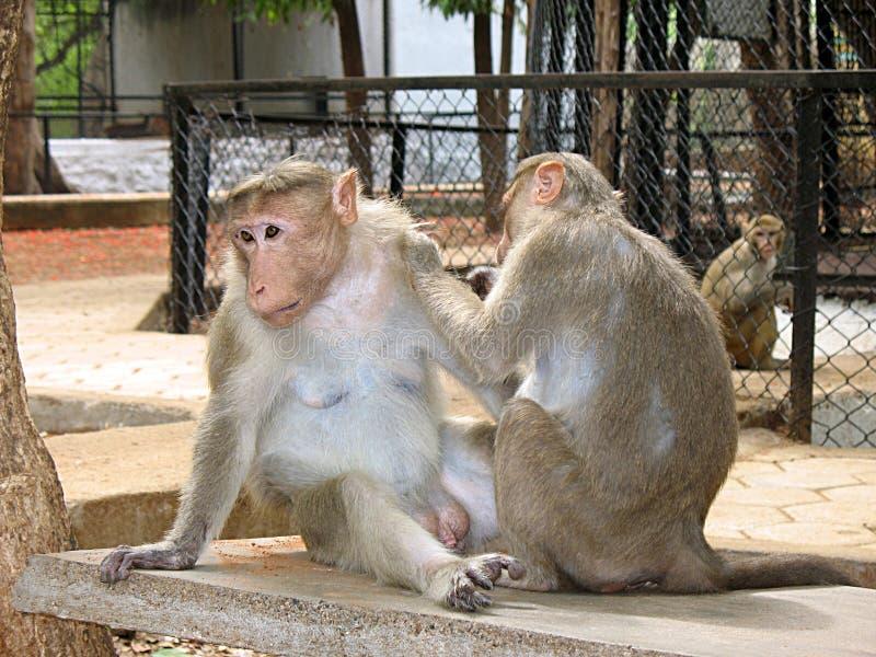 małp grać zdjęcia stock