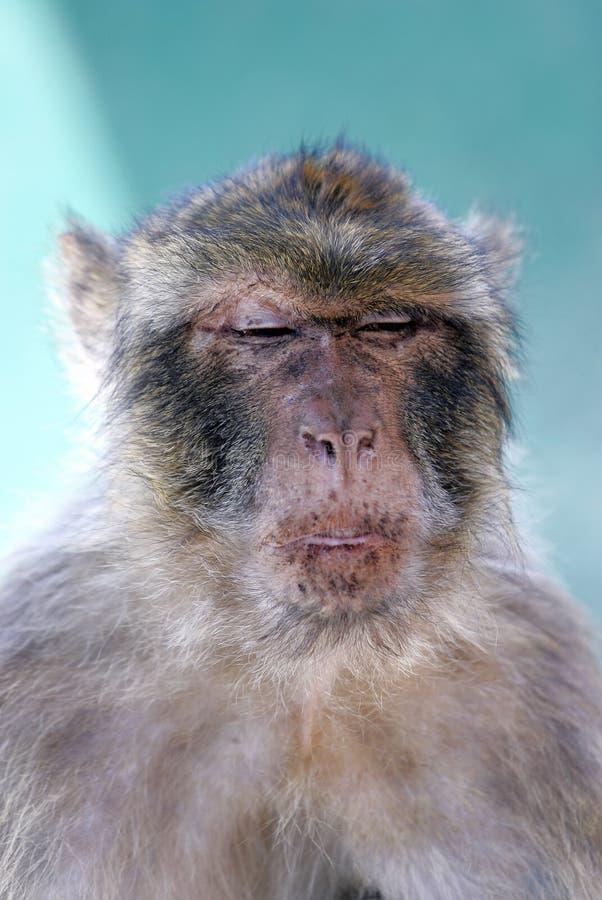 małpa Barbary stoi w obliczu śmiesznej spojrzenie małpy obrazy stock