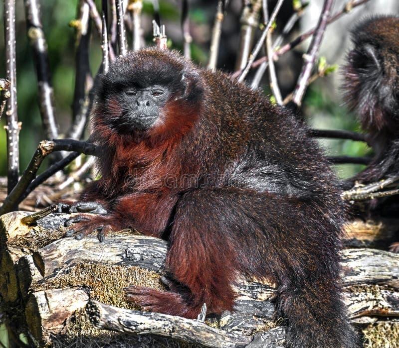 Małpa czerwony 4 obraz royalty free