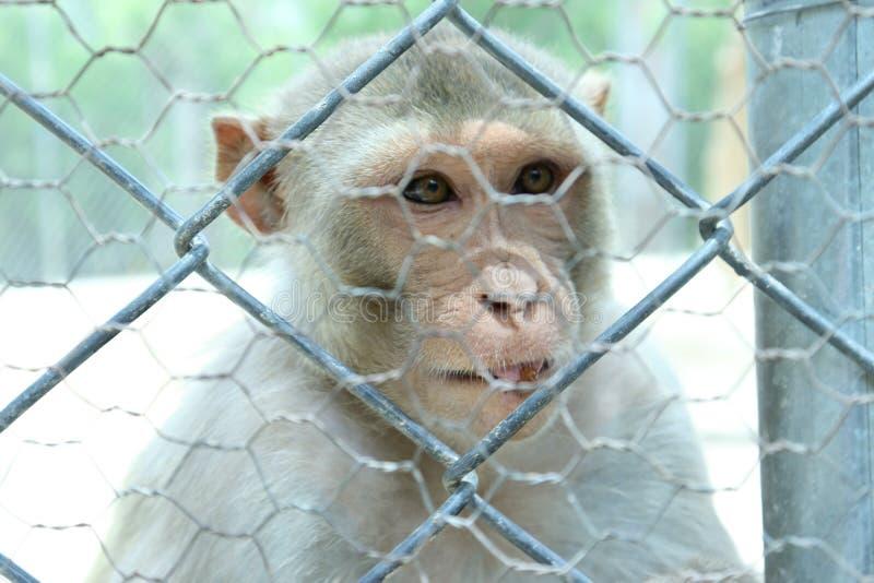 Małpa jest mądrymi ogólnospołecznymi zwierzętami zdjęcia royalty free