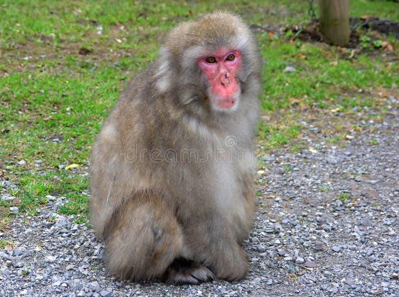 małpa makak zdjęcia royalty free