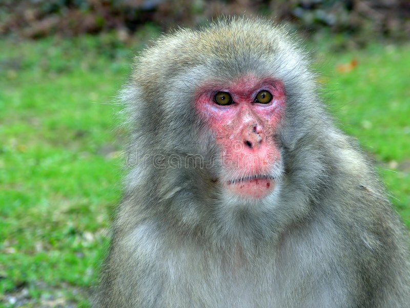 małpa makak zdjęcie stock