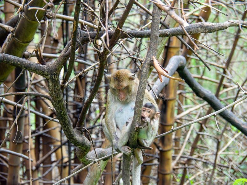 Małpa, mama i dziecko, siedzimy na drzewie fotografia royalty free