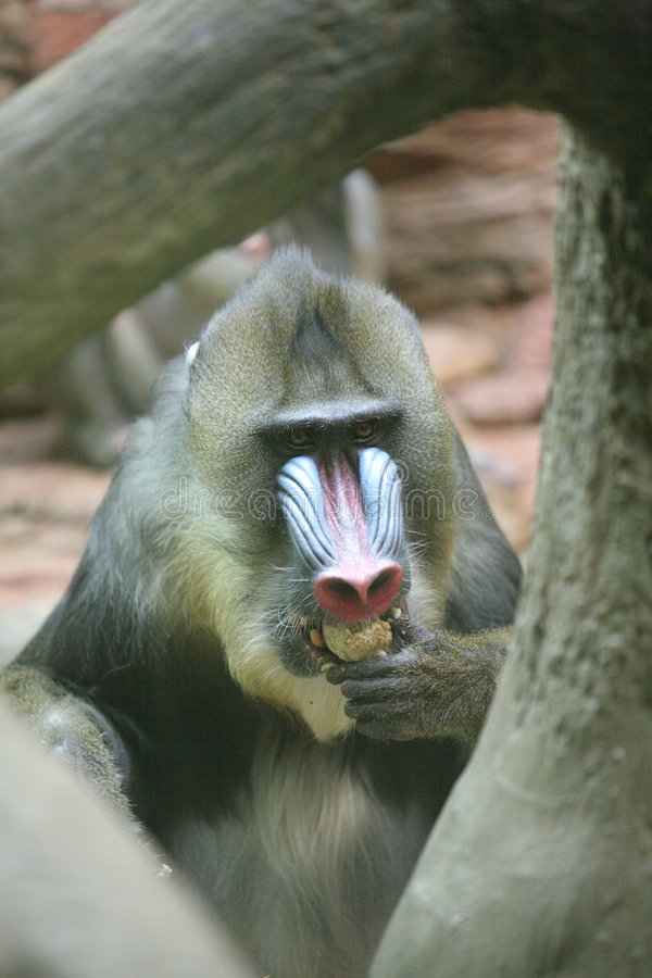 małpa mandryl obraz royalty free
