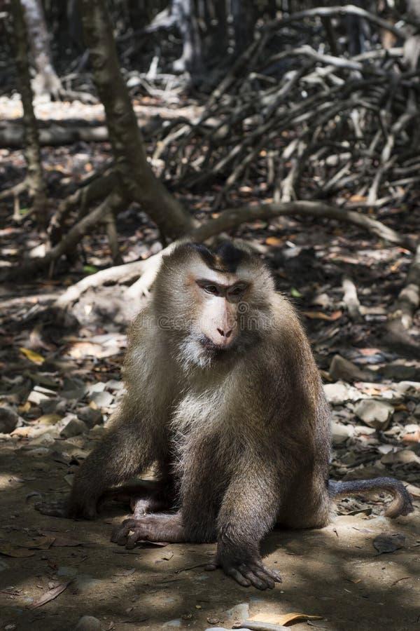 Małpa na ścieżce w mangrowe obrazy stock