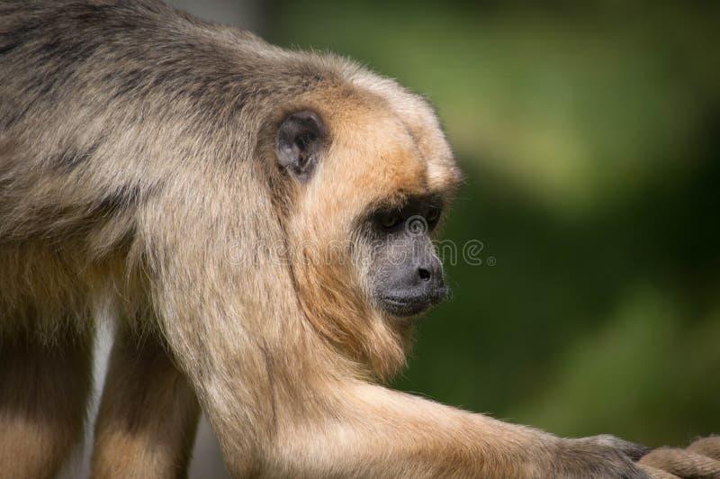 Małpa na arkanie zamkniętej w górę widoku obrazy royalty free