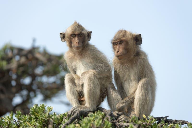 Małpa na drzewie zdjęcie stock