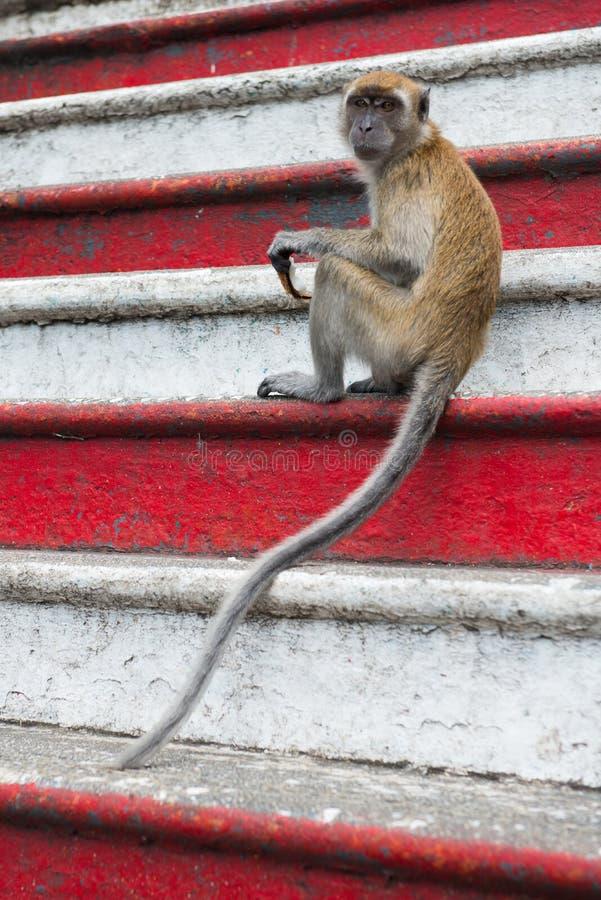 Małpa na kroka czerwonym bielu zdjęcia royalty free