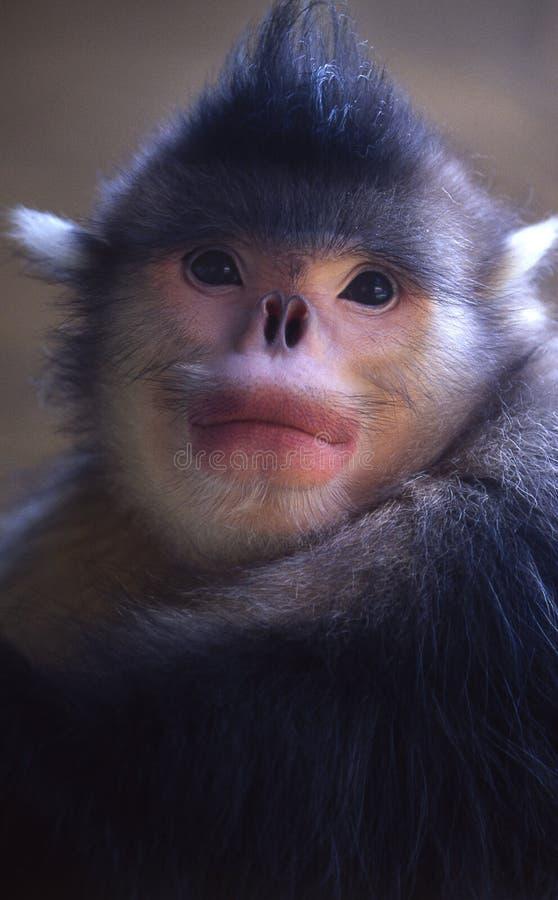 małpa nos zadarty Yunnan zdjęcia royalty free