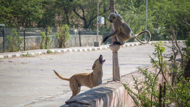 Małpa odpoczywa na drzewie blisko jeziora w Jaipur obrazy stock