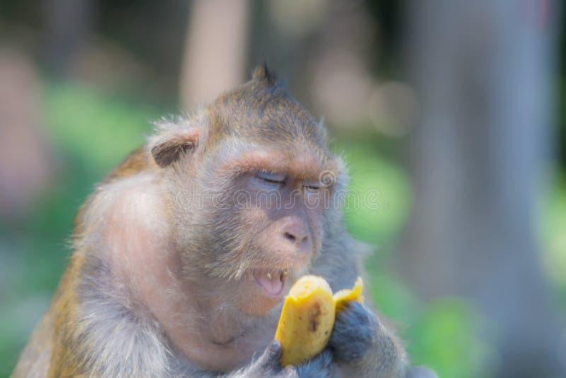 Małpa otwiera jego usta podczas gdy jedzący banana zdjęcie royalty free
