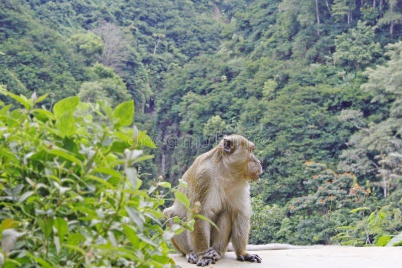małpa pojedyncza zdjęcie stock