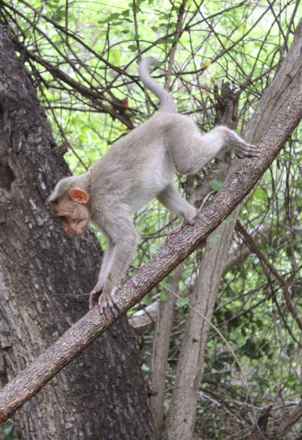 Małpa puszek na drzewie zdjęcie royalty free