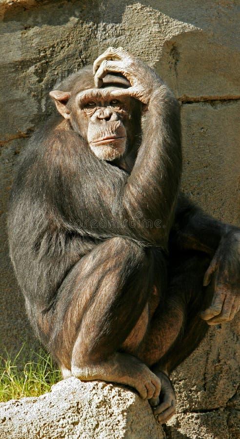 małpa rozważna zdjęcia royalty free