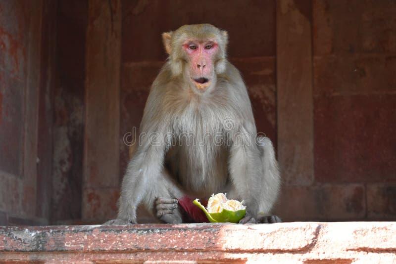 Małpa ruchliwie z łasowaniem zdjęcia royalty free