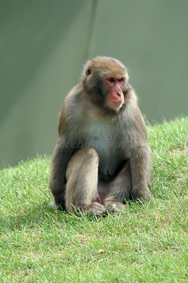 małpa sama fotografia stock
