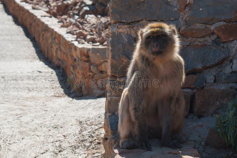Małpa siedzi na ziemi obrazy royalty free