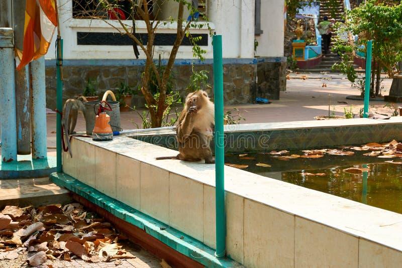 Małpa siedzi przy Sambok pagodą, Kratie, Kambodża obraz stock