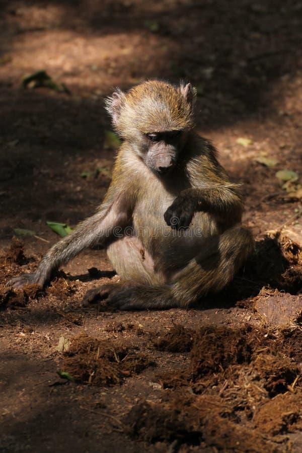 Małpa w drodze gruntowej obraz royalty free