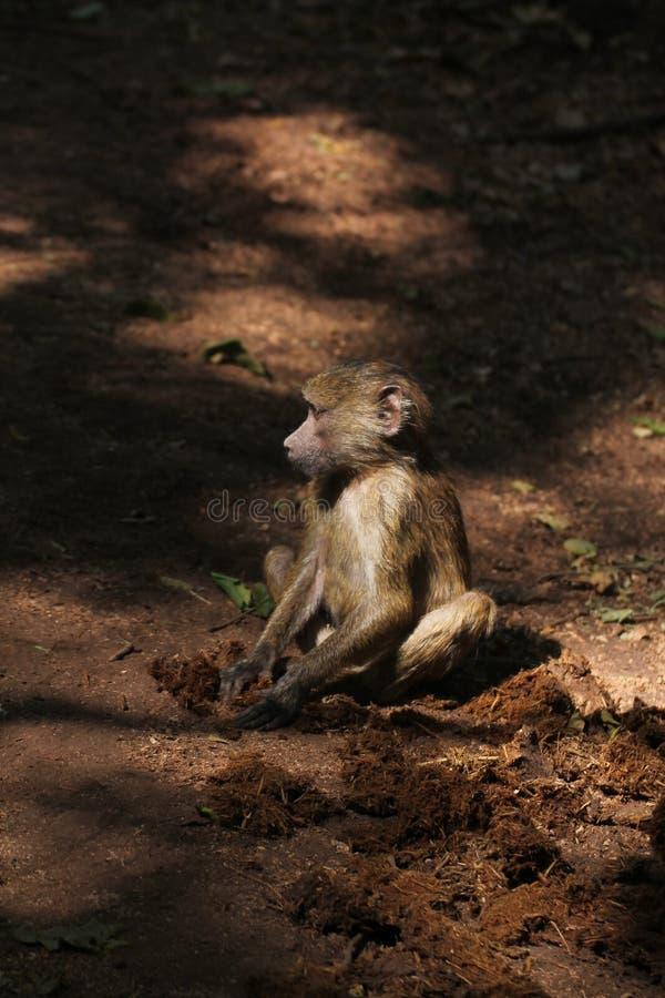 Małpa w drodze gruntowej obrazy royalty free