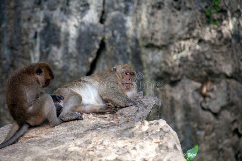 Małpa w Krabi Thailand/zwierzęciu zdjęcie royalty free