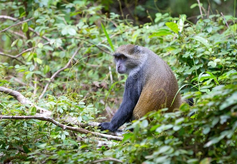 Małpa w lesie obraz royalty free