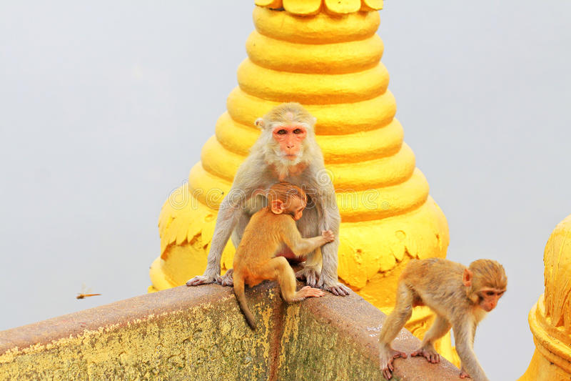 Małpa w Popa Taungkalat świątyni, góra Pop, Myanmar fotografia stock