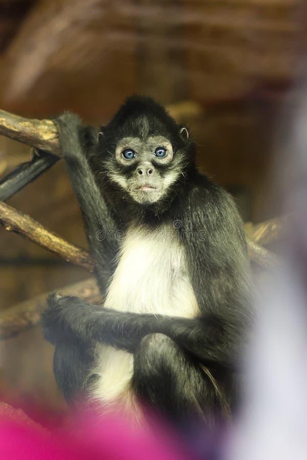 Małpa z niebieskimi oczami zdjęcia stock