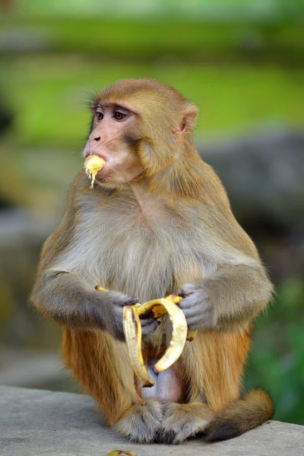 Małpi łasowanie banan obraz royalty free