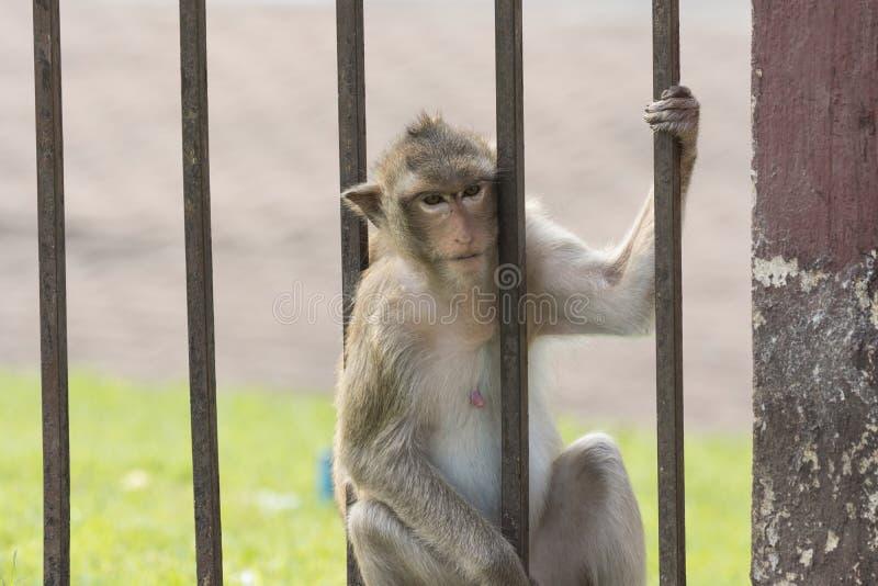 Małpi żyje w mieście fotografia stock