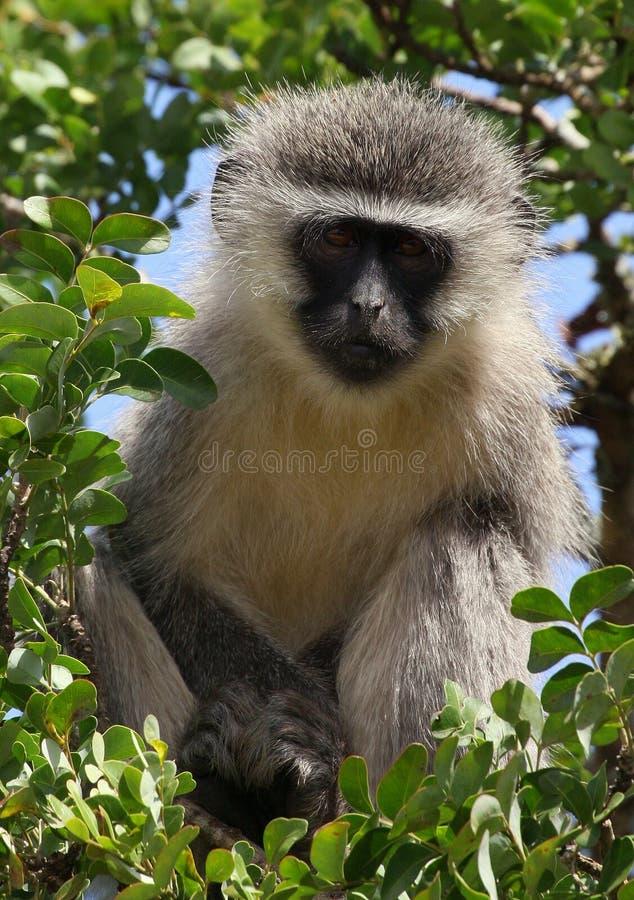 małpi addo vervet obrazy royalty free