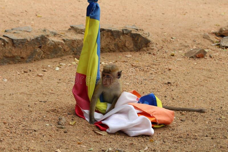 Małpi bawić się z flagą w Polonnaruwa Antycznym mieście zdjęcie stock