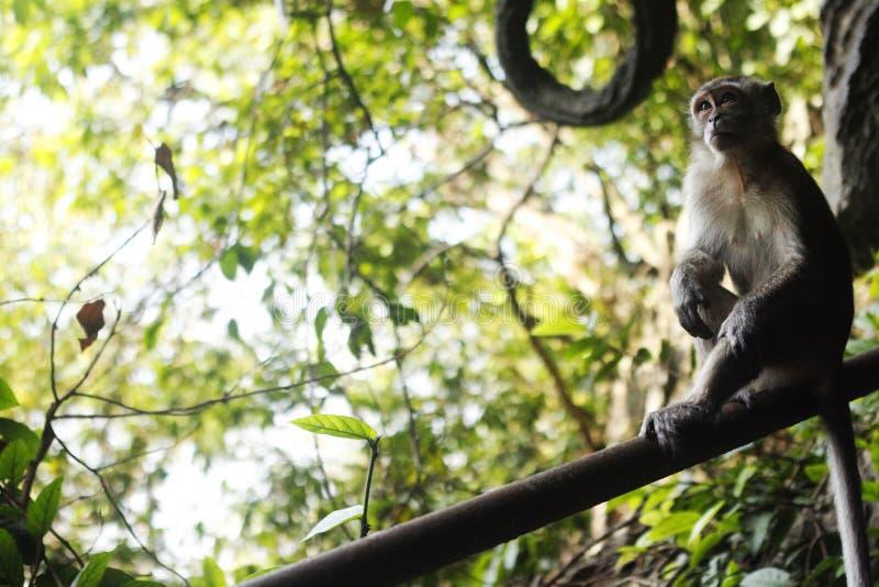 Małpi główkowanie na ogrodzeniu zdjęcie royalty free