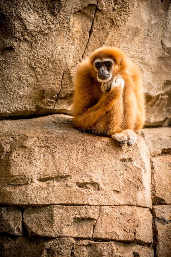 Małpi gibonu pozować zdjęcia royalty free