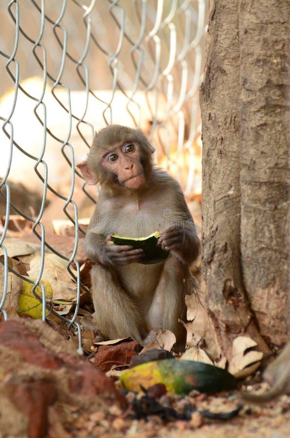 Małpi jedzenie fotografia royalty free