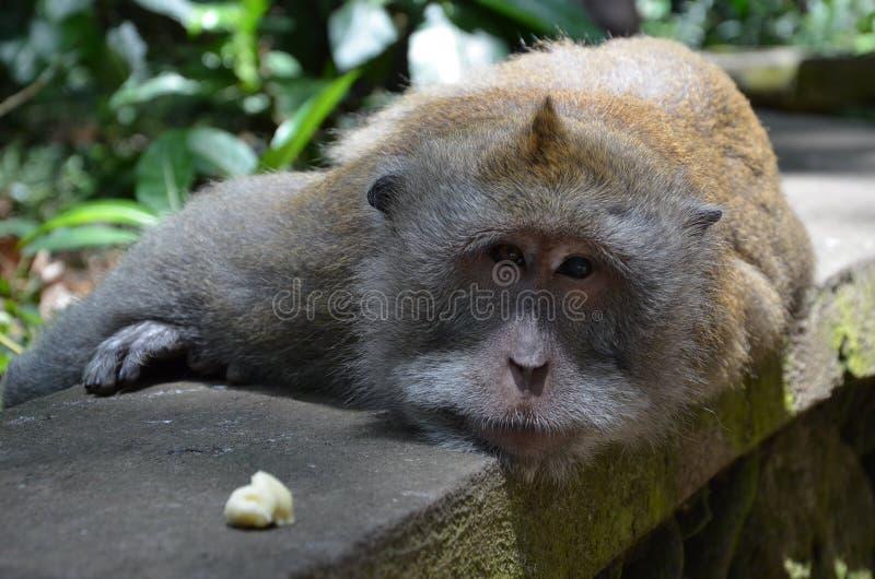 Małpi las zdjęcia stock