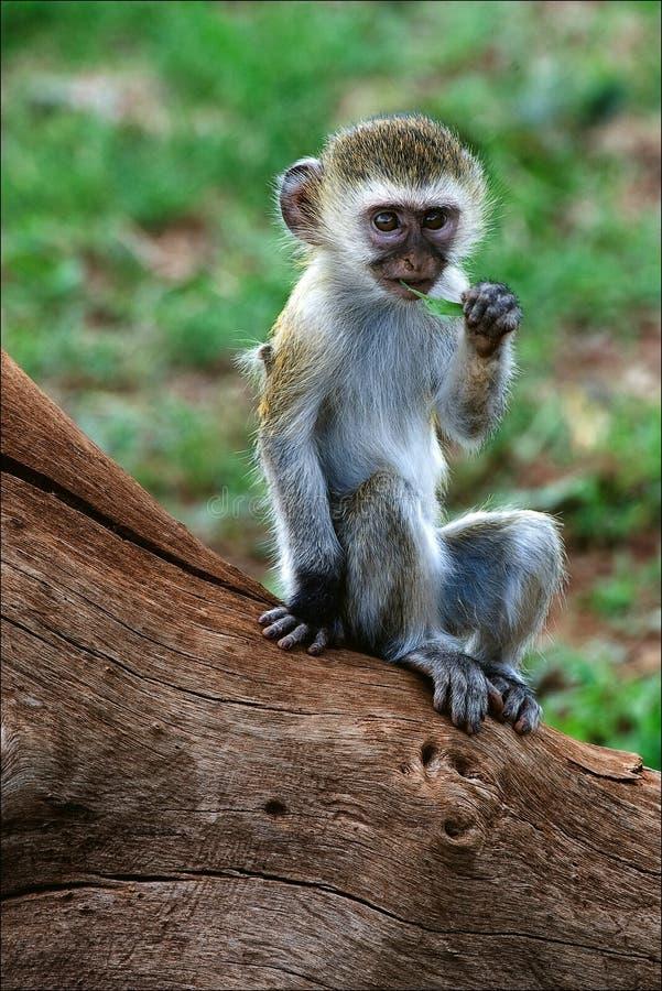małpi lisiątka vervet obraz stock