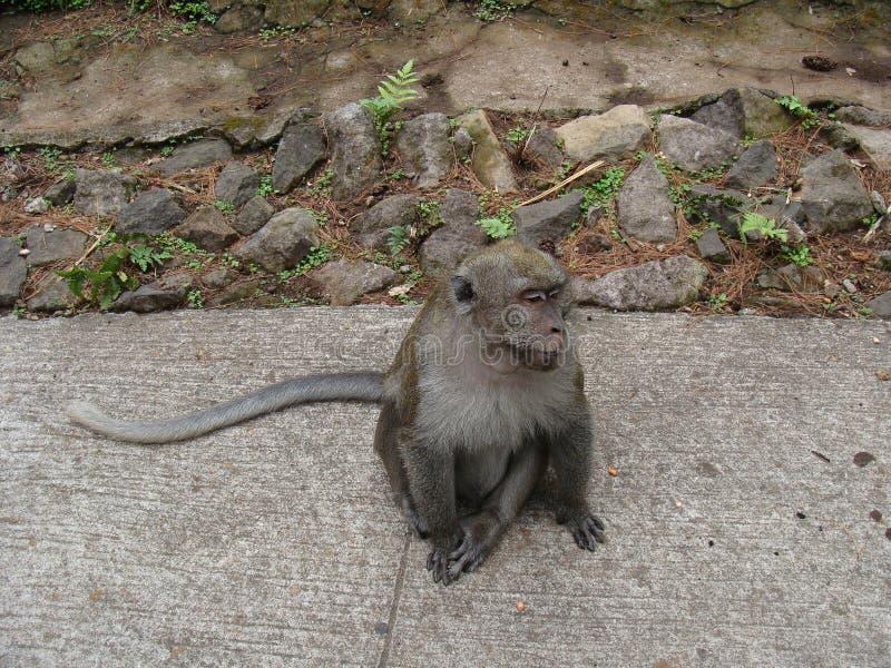 Małpi Macaca fascicularis siedzą na brukują i kamienny fotografia royalty free