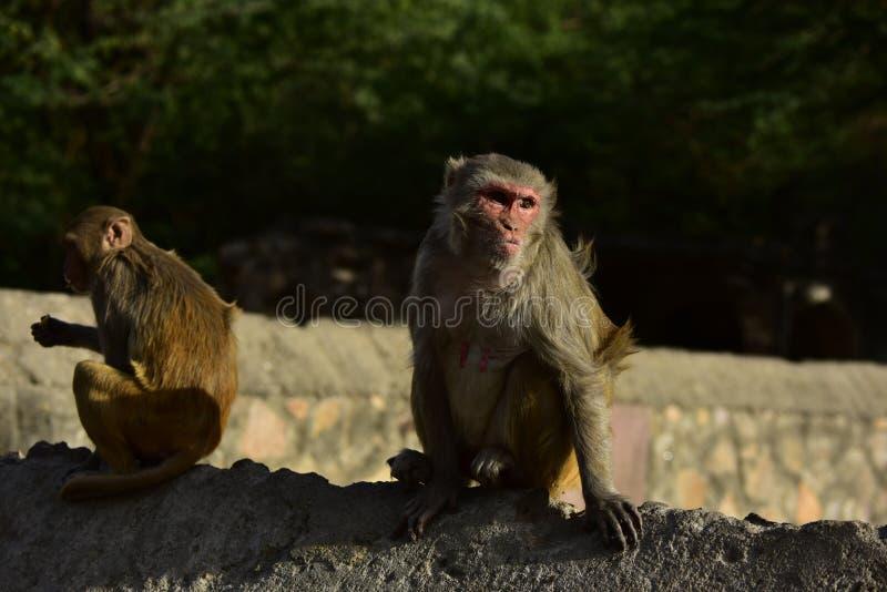 Małpi Makak Rezus obrazy stock