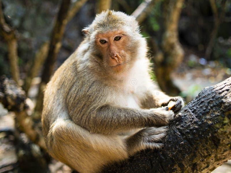 Małpi myśliciel na czarnym drzewie obraz royalty free