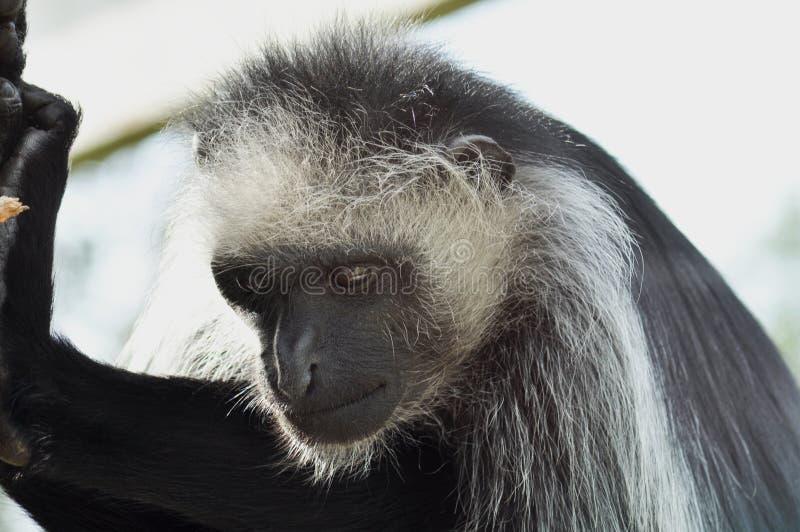 Małpi obłąkanie zdjęcie royalty free