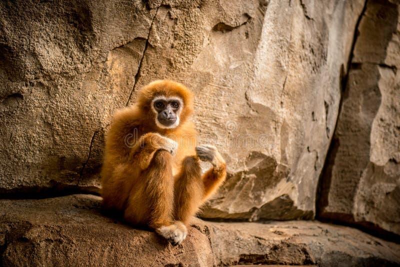 Małpi obsiadanie i patrzeć kamera fotografia stock