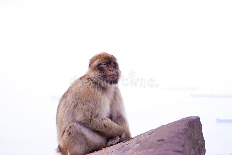 Małpi obsiadanie na falezie przegapia Gibraltar dosypianie zdjęcie stock